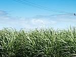 20110128211322-hojas-de-cana-de-azucar-en-campo-198517-1-.jpg